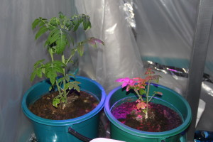 20150203-А помидоры всё растут